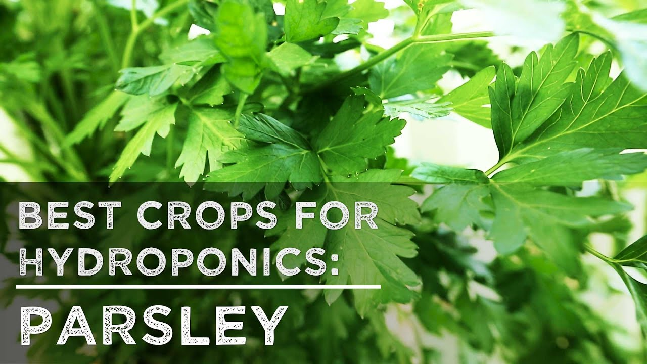 Delicieux Best Crops For Hydroponics: Parsley   YouTube