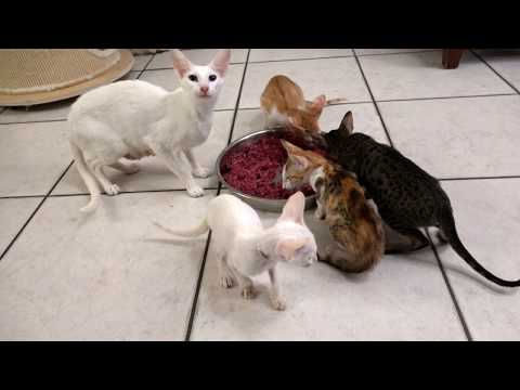 Foreign White Siamese and Bicolour Oriental shorthair kittens.
