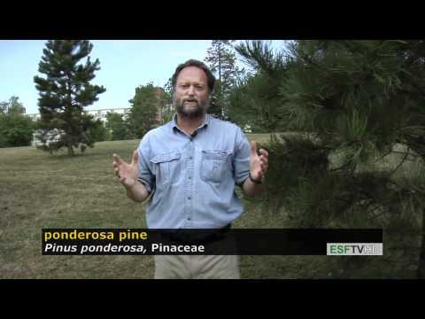 Trees with Don Leopold - ponderosa pine
