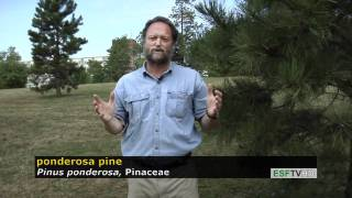 Trees with Don Leopold - ponderosa pine