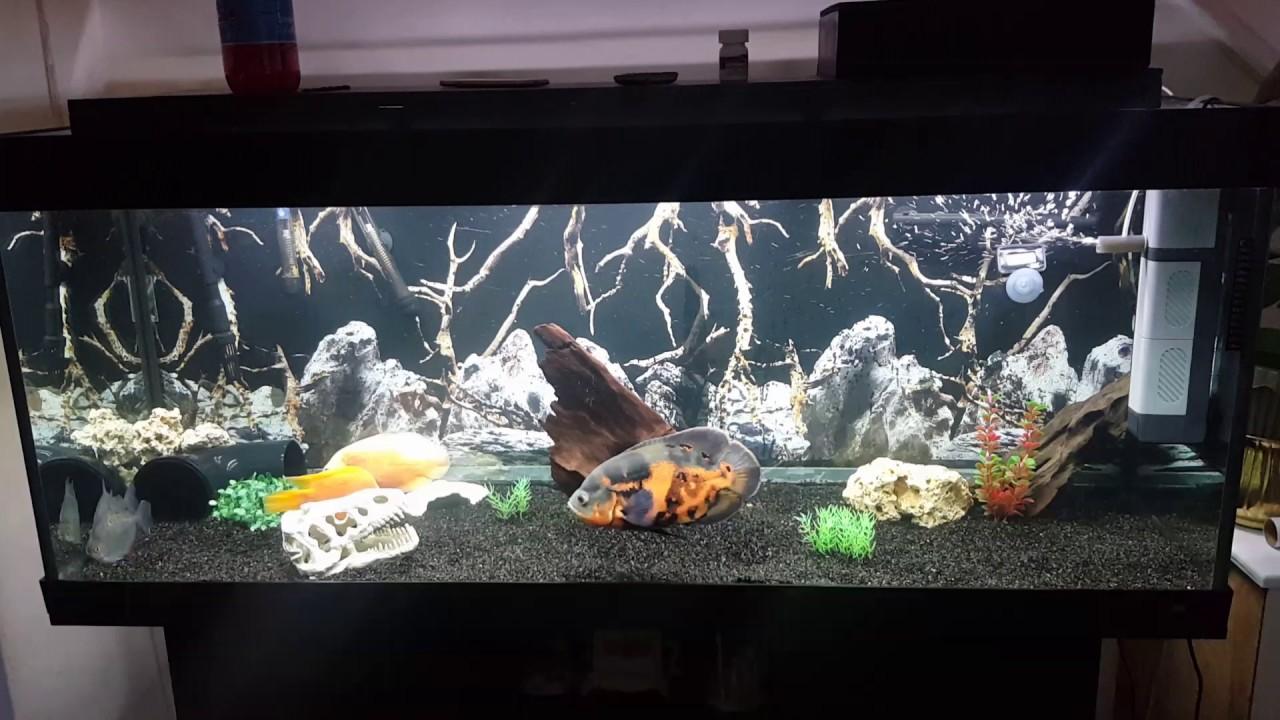 oscar fish new tank setup youtube