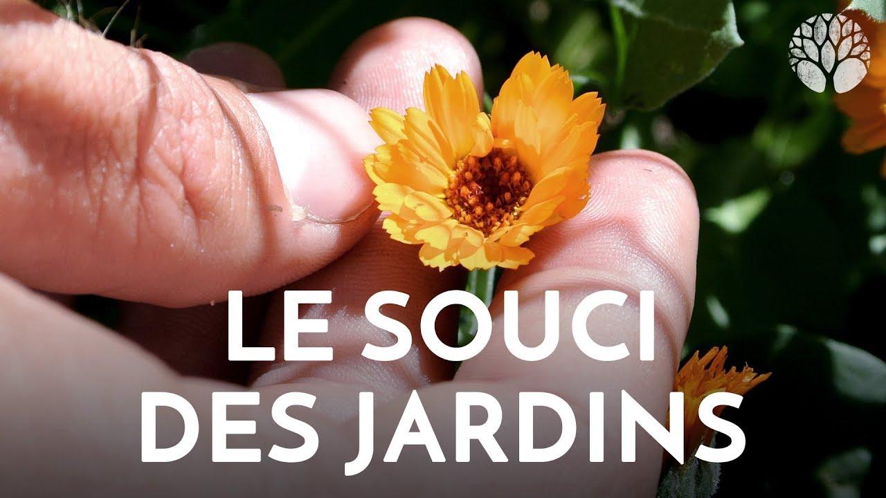 Le souci ou Calendula, la plante médicinale des vacances pour les coups de soleil et les infections