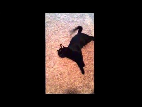 "Bombay Cat chirping ""BatCat"""