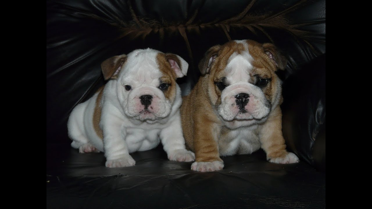 Préférence English Bulldog puppies for sale , bébé chiot Bouledogue Anglais à  CG55