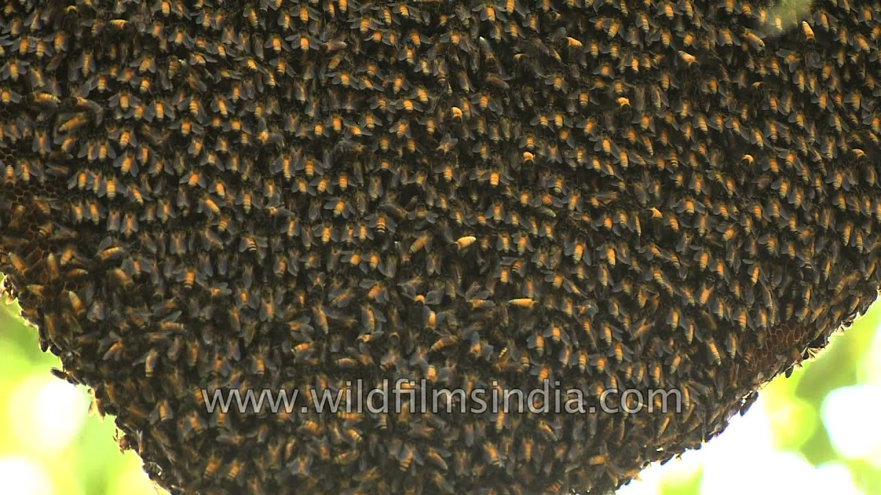 Natural Beehive On A Tree Branch India