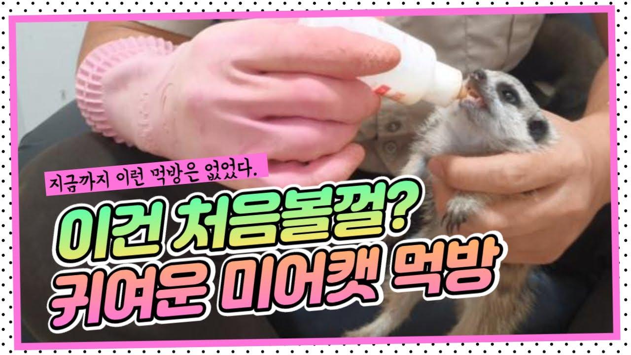 [동물농장] '아기라쿤과 미어캣 소개' / 'Animal Farm' Review 이건 처음볼껄? 귀여운 미어캣 먹방!!