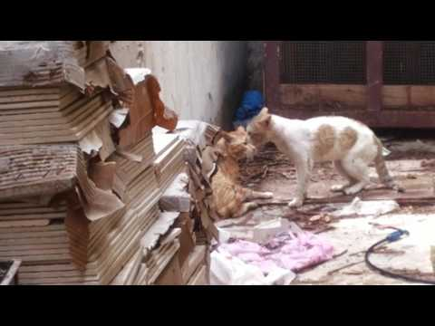 Two cats fighting live