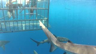 Hawaii - Cage Swimming with Sharks
