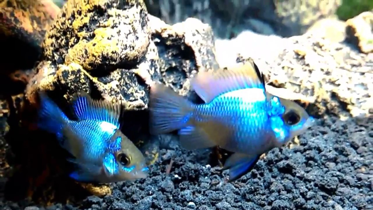 Ikan Ramirezi