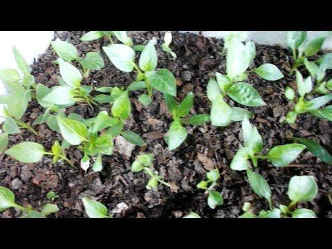 مراحل نمو شتلات الفلفل و الطماطم من البداية Youtube