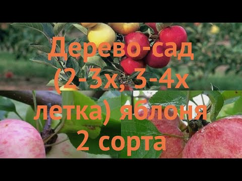 Яблоня обыкновенная Коричное полосатое - Грушовка московская 🌿 обзор: как сажать, саженцы яблони