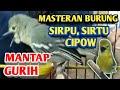 Masteran Burung Sirpu Sirtu Cipow  Mp3 - Mp4 Download