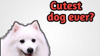 Cutest dog breed ever || Samoyed Adorable Video Clips || Samoyed Dog