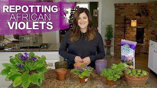 Repotting African Violets // Garden Answer