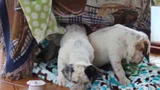 English Bulldog Mix Puppies For Sale