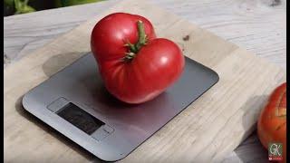 Tomato Beefsteak Challenge #1 Brandywine