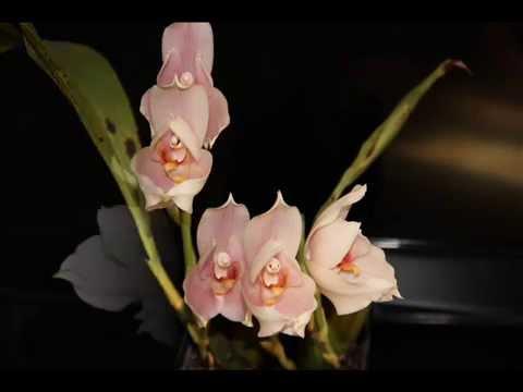 Ликаста орхидея.