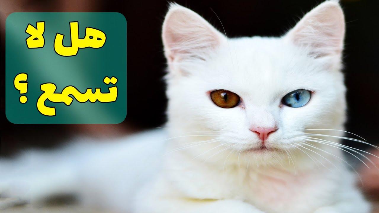 حقائق عجيبة عن القطط البيضاء زرقاء العيون