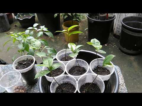 How To Germinate Seeds And Grow Soursop Trees (Guyabano, Guanabana, Graviola, Pawpaw)