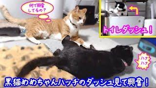 <2匹の猫通信>ハッチとマックの「ほっこりライブ」黒猫めめちゃんハッチのダッシュ見て興奮!2019 07 22 - Cat Live Stream In Japan - Cat Life Tv