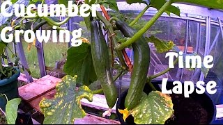 Cucumber Growing 7 Days in 60 seconds Time Lapse Photography