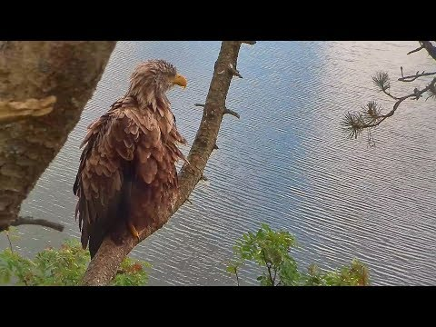 Eagle on the branch