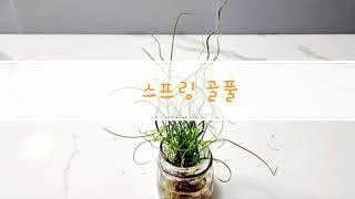 수경재배식물 스프링골풀 키우기 - 준쿠스