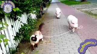 Свинка ведет кошку на поводке