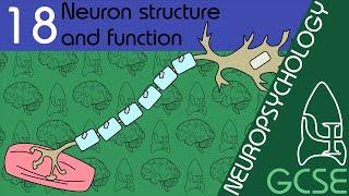 Neurone - Neuropsychology, GCSE Psychology [AQA]