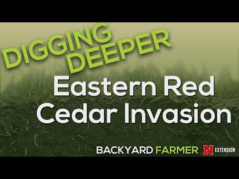 Digging Deeper   Eastern Red Cedar Invasion