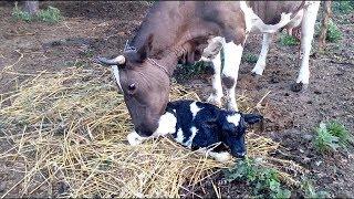 отелилась корова/ первая дойка после отела