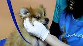 Чистка ушей у собак.wmv - YouTube