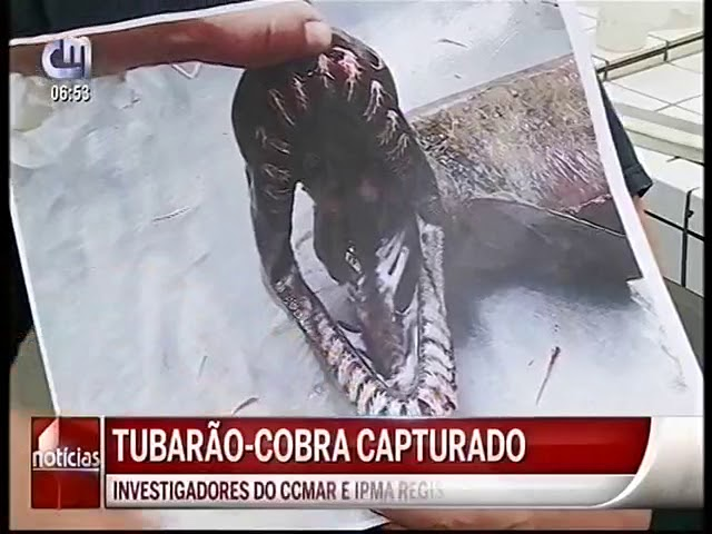Tubarão-Cobra capturado no Algarve