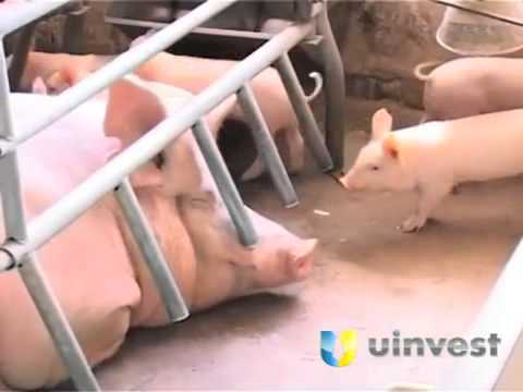 Pig Farm   UInvest Investment Business Opportunity Project