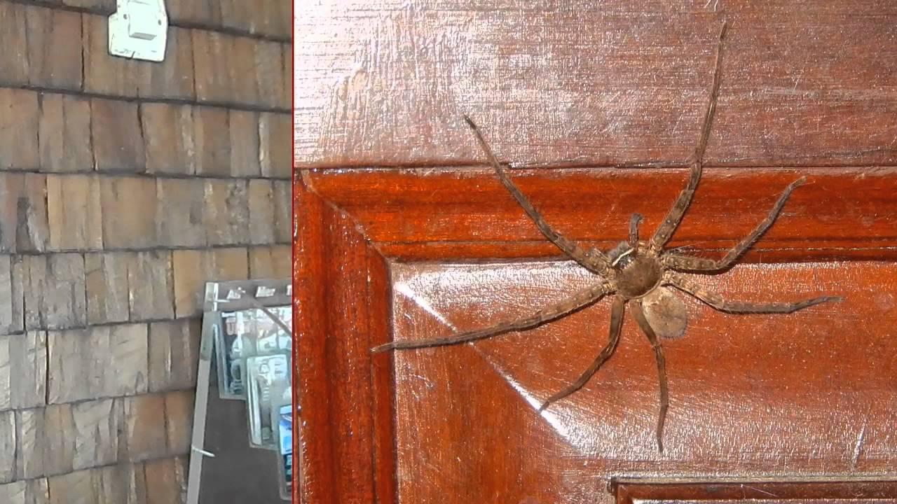 Très Araignée Babouk, très énervéeile de la Réunion ! - YouTube AZ84