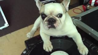 DJ MAMA two paw scratch French Bulldog DJ dog pet trick