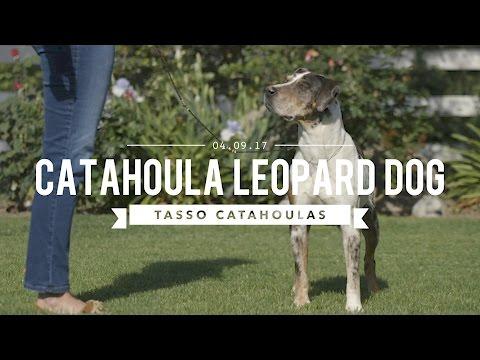 THE AMAZING LOUISIANA CATAHOULA LEOPARD DOG