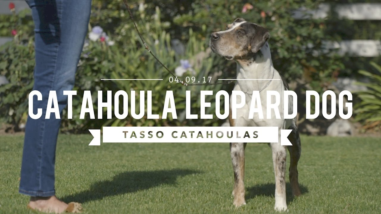 The Amazing Louisiana Catahoula Leopard Dog Youtube