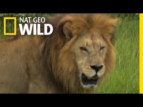 Male Lions Vs. Female Lions | Big Cat Week