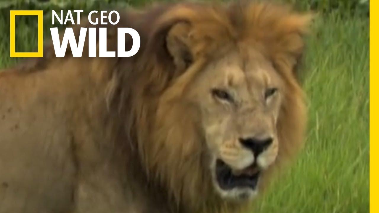 Male Lions vs  Female Lions | Big Cat Week