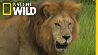 Male Lions vs. Female Lions | Big Cat Week