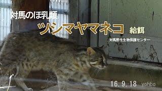 ツシマヤマネコ 給餌 160918 ツシマヤマネコ 検索動画 28
