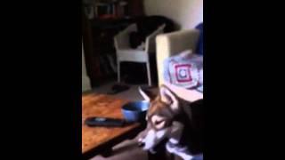 Siberian Husky Barking Mad