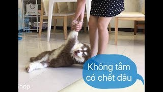 Chó Mật lại giả chết để trốn tắm - Dogs pretemds to die for not wanting to shower ➤ Mật Pet Family