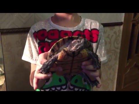 красноухие черепахи!(Тимур)