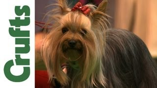 Crufts 2012 Yorkshire Terrier Best Of Breed