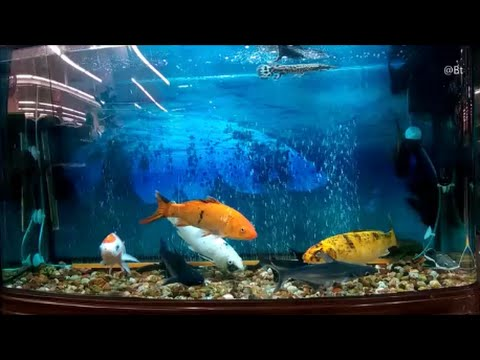 300 gallon fish tank with shark arowana koi fish gold fish for Carpe koi aquarium 300 litres