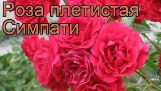 роза плетистая Симпати (rose sympathie)  роза Симпати обзор: как сажать саженцы розы Симпати