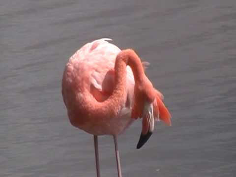 Flamingo calling to each other - Galapagos Islands