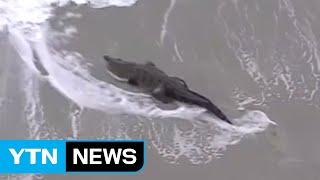 미국 플로리다주 할리우드 해변에 길이 1.8 미터의 악어가 나타났습니다...